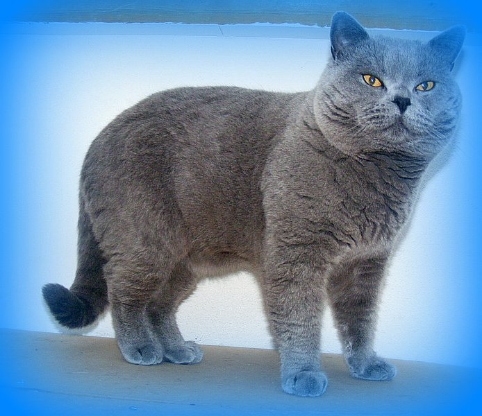 gallery blue british shorthair cats